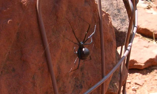 blackwidow-spider