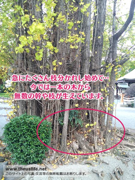 健軍神社境内にある、珍しいイチョウの木(子宝に恵まれるそう)
