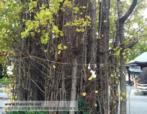 健軍神社境内にある、珍しいイチョウの木