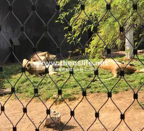 PhoenixZooで昼寝しているライオン