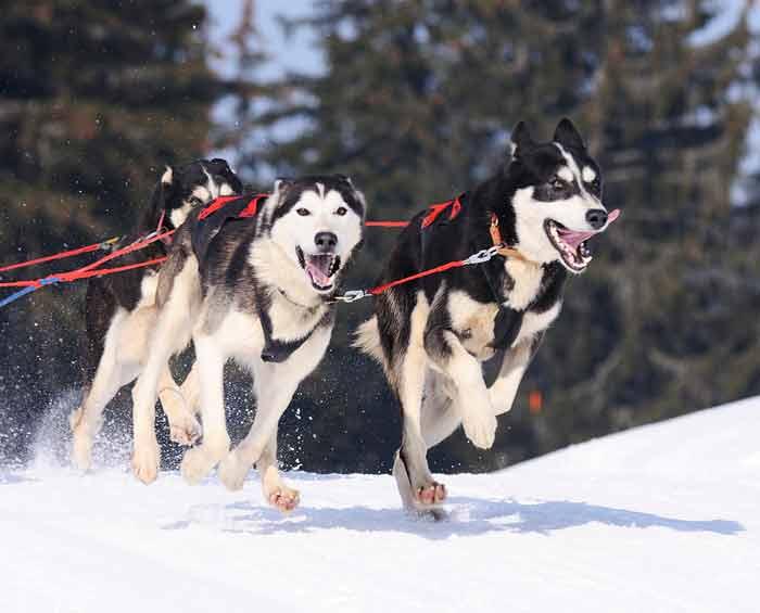 アラスカの犬ぞり